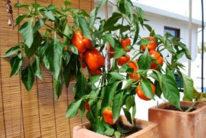 Ớt cà chua khắc phục sự mệt mỏi mãn tính dẫn đến rối loạn thần kinh thực vật